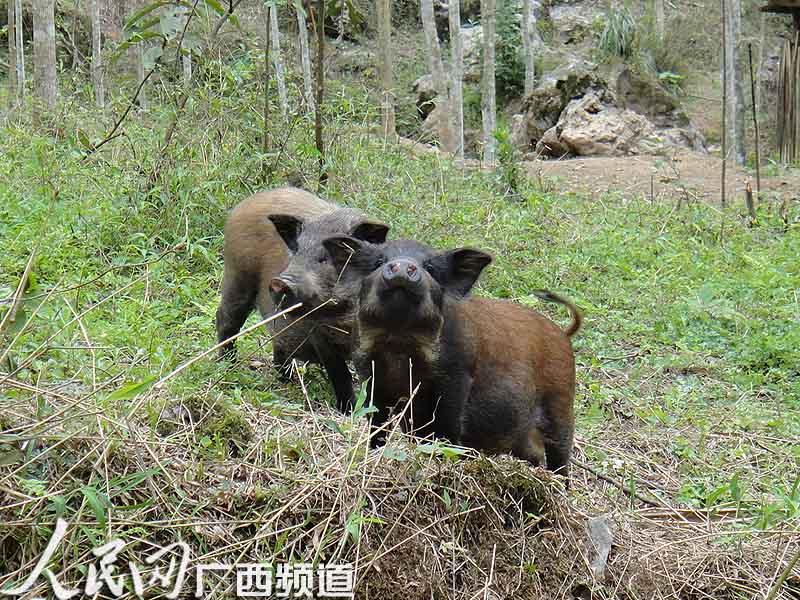 山猪养殖场地设计