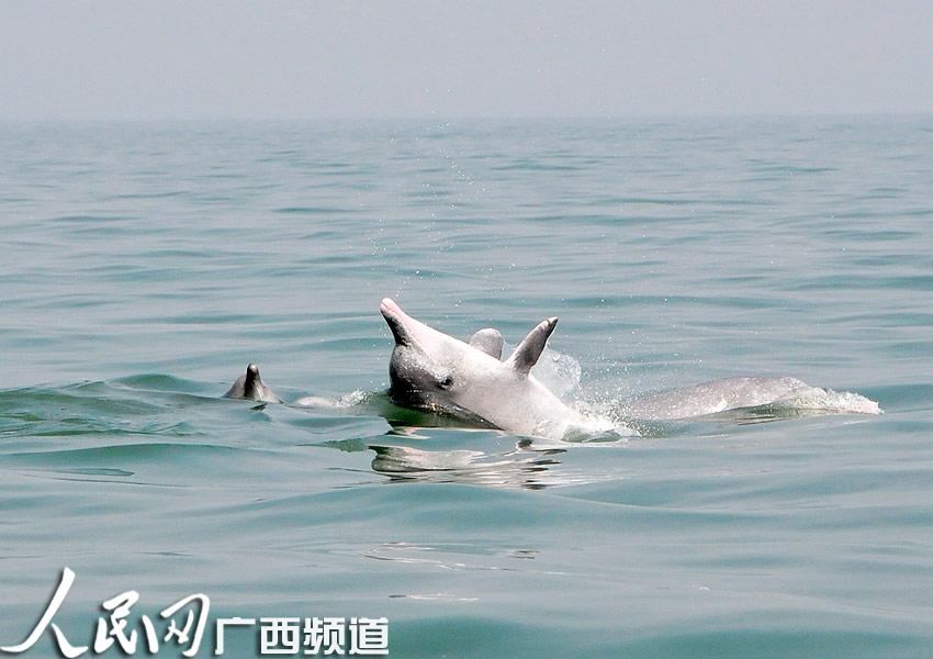 """钦州三娘湾:白海豚家庭""""集体秋游"""""""