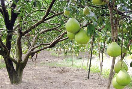 柚子什么时候成熟