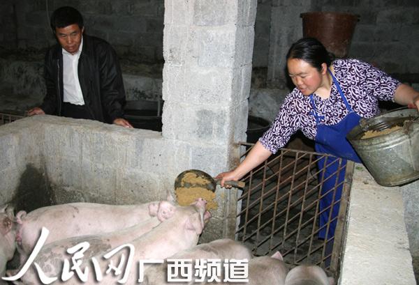 吴天来支书带领陇雅村群众大力发展养猪业