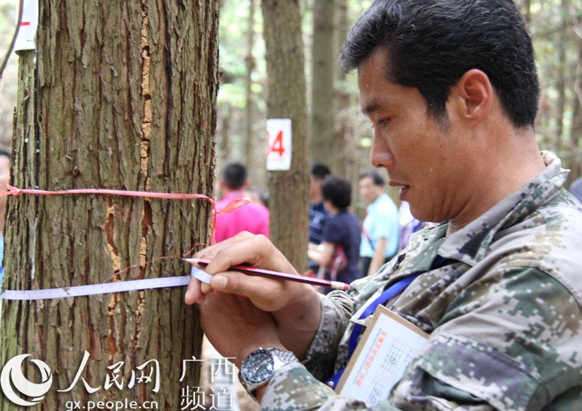 参赛选手在测量树木胸径