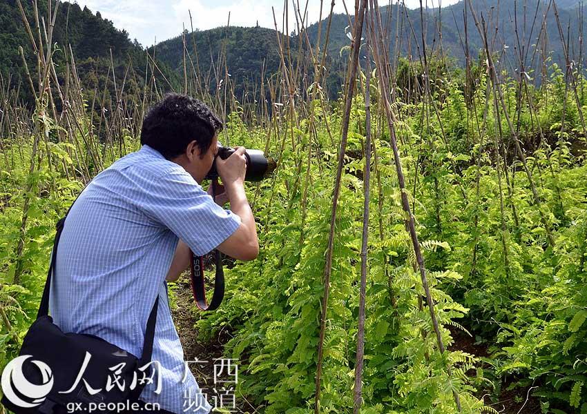 高清:鸡骨草为成广西凌云县农民增收的又新亮点【2】