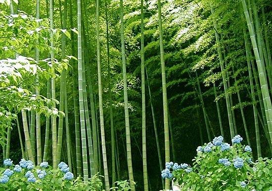 竹秆是重要木材植物