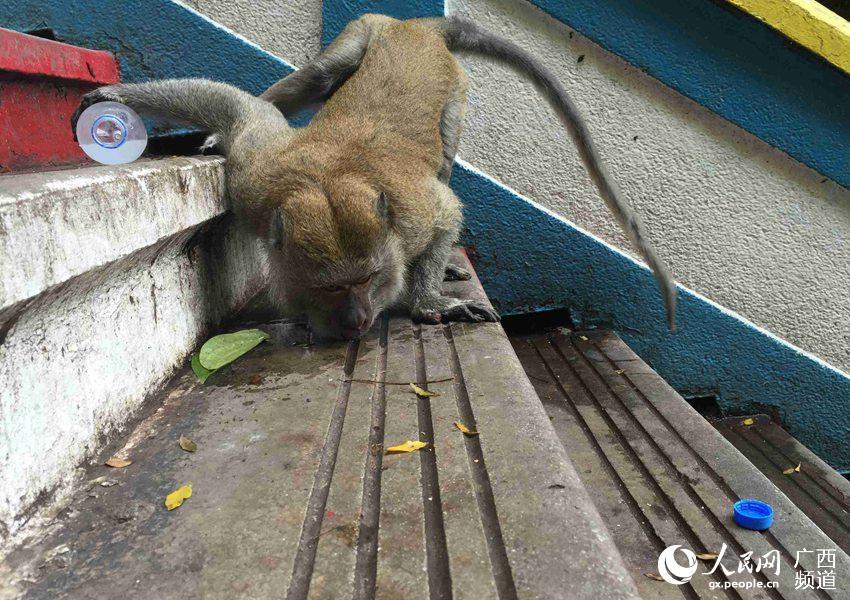 猴子都会自己打开矿泉水瓶喝水