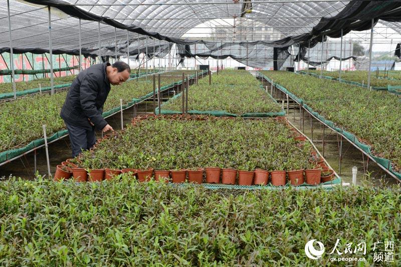 广西顺昌隆生物科技有限公司大棚种植的铁皮石斛