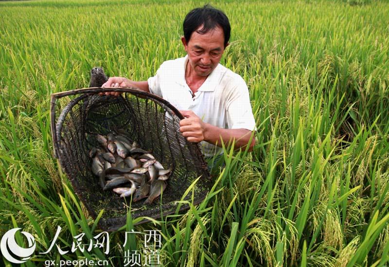 """当地养殖的乌鲤禾花鱼体肥质美,蛋白质含量高,是各地鱼市上的""""抢手货"""""""