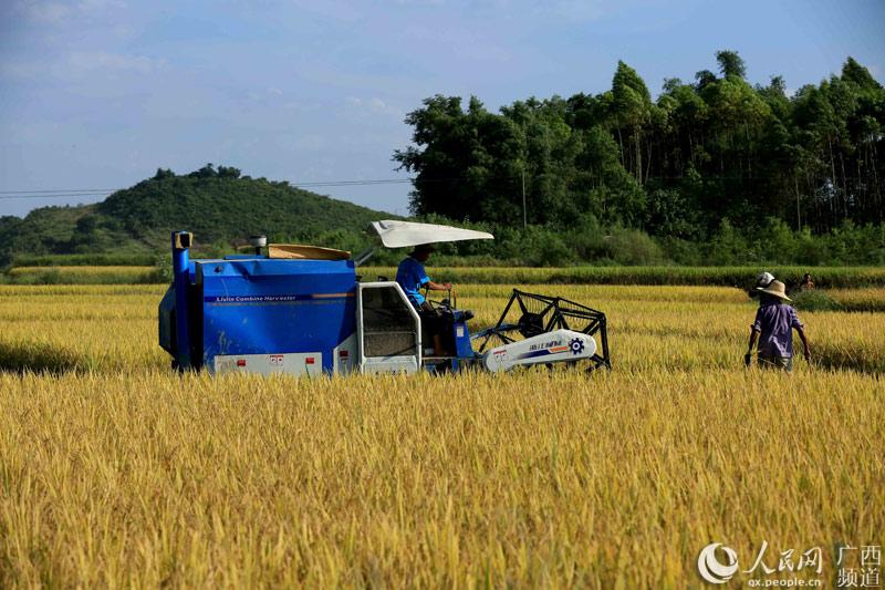 8月10日,在广西柳州市融安县潭头乡新桂村,一名农民驾驶收割机收割