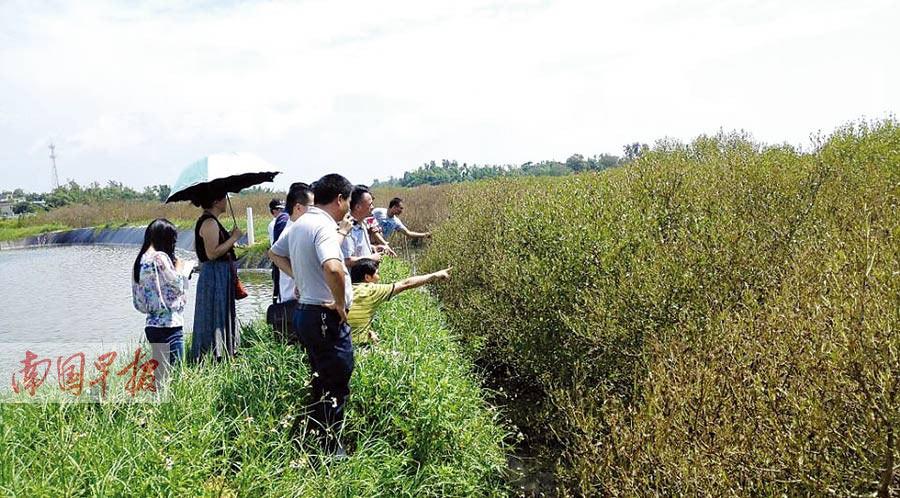 广西红树林受灾面积增至4500亩 专家称有望复活