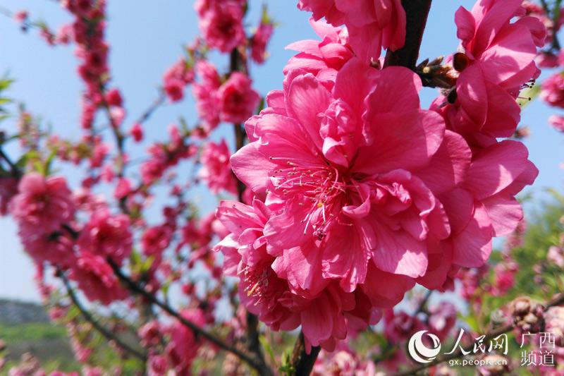 高清组图 广西瑶乡三月桃花笑春风