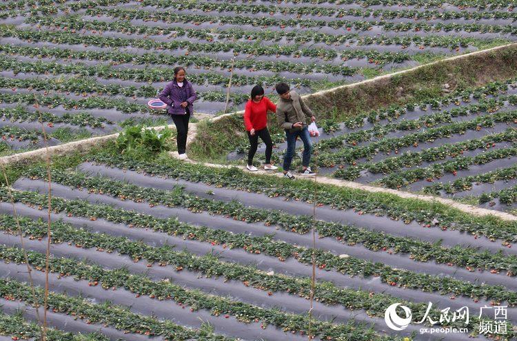人民网隆林3月11日电  3月10日,笔者在广西隆林各族自治县者浪乡那隆
