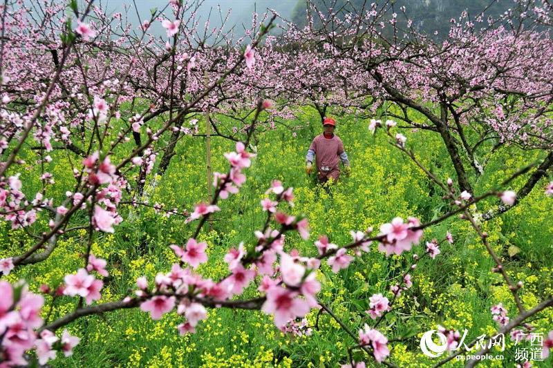 随着气温回升,当地桃农立即进入桃园剪枝疏花管护桃树,力争今年有好收