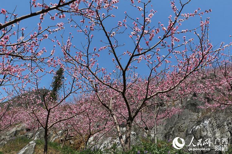 人民网田林3月23日电 连日来,随着气温的回升,在岑王老山脚下的浪平乡八告寿桃种植基地里的桃花也竞相开放,远远看去漫山遍野的桃花把整个小山头全变成了粉红色的世界,煞是好看。还有那蔚蓝的天空、洁白的云朵、美丽的油菜花、漂亮的楼房、牵着骡的人们构成了一幅幅美丽春景图。(黄卫平、黄数情、庞泳承)