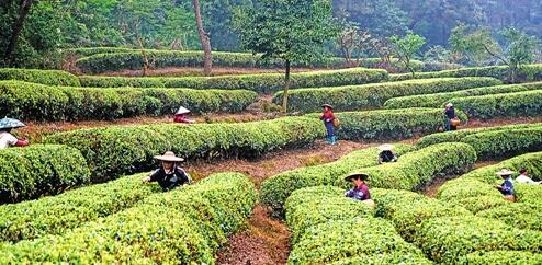 眼下,广西桂平市各茶场一片繁忙,全市可采茶面积1.128万亩.
