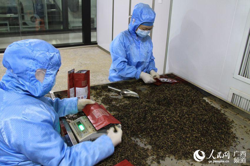 茶叶生产--人民网广西频道--人民网