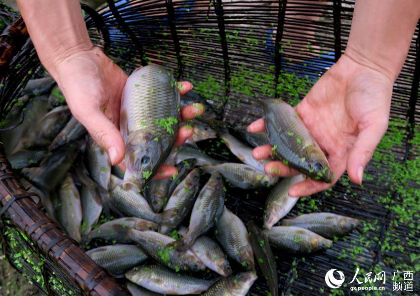 8月10日,广西全州县龙水镇桥渡村村民谢崇林在晚稻田里捕捞禾花鱼。