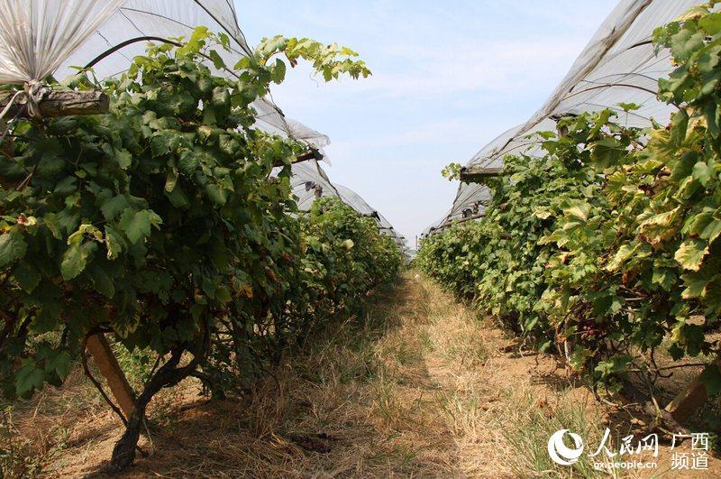 成熟期一到,田里的葡萄就销售一空
