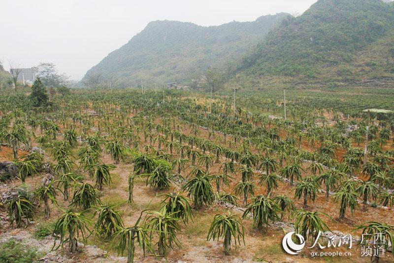 平果县大力发展火龙果产业带动脱贫--人民网广西频道