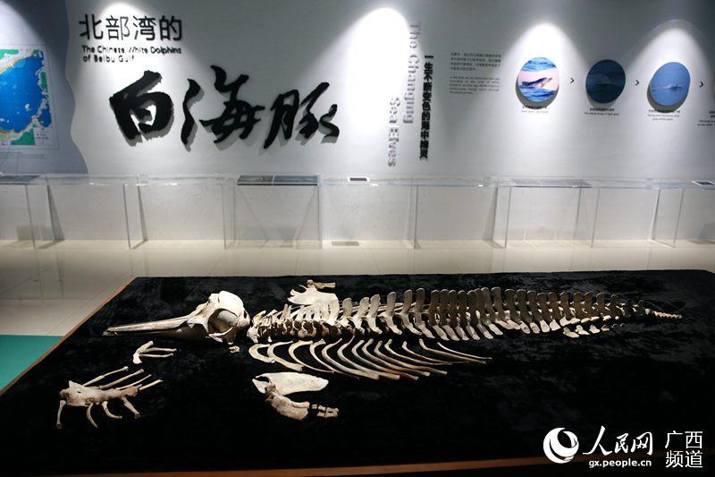 这是4月23日在钦州中华白海豚科普馆内拍摄的一副海豚骨架标本人民