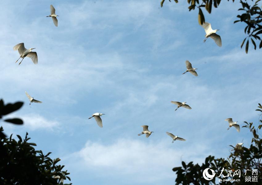 5月6日,一群白鹭在钦州市茅尾海国家海洋公园的亚公山景区上空飞翔.