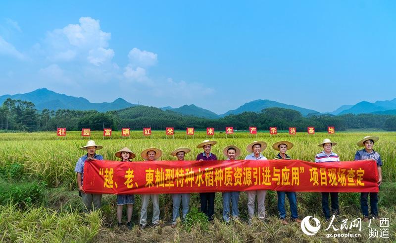 广西农科院到贵港开展特种水稻现场查定工作