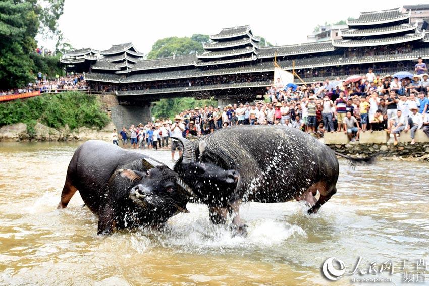 10月2日,人们在三江侗族自治县独峒镇岜团村观看斗牛比赛