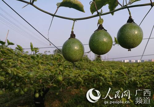 平南生态循环农业示范区力争实现综合效益最大化