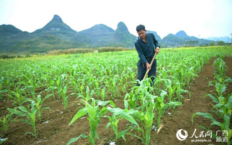 广西来宾市忻城县城关镇板河村村民罗荣新在田间管护冬植玉米