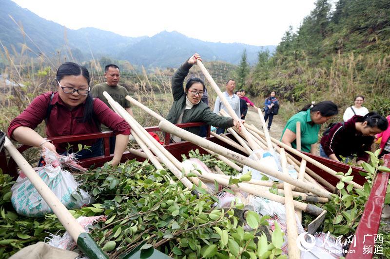 广西三江:依托种植油茶走出一条扶贫路