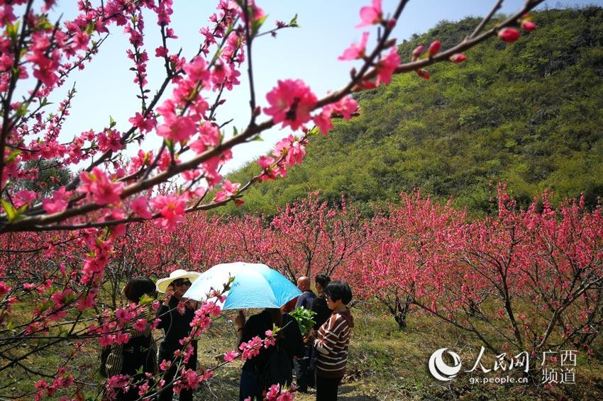 广西恭城:阳春三月 桃花争俏