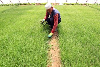 灵武兴旺村:沙地蔬菜致富农民