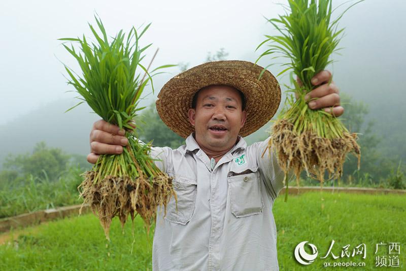 浪伏小镇启动有机水稻种植
