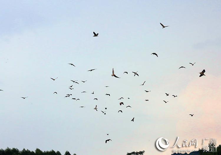 数千只白鹭和夜鹭出现在广西象州