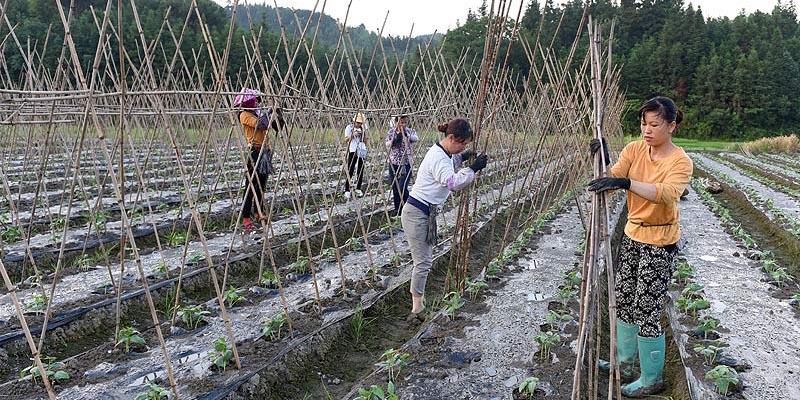 三江:种植豆角助脱贫