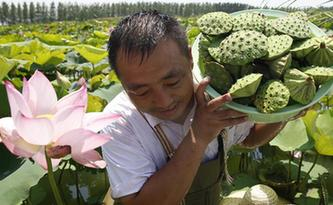 江苏泗洪:高温下的采莲人