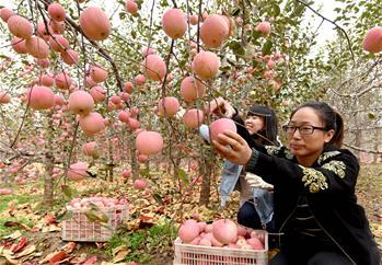 河北:苹果丰收醉金秋