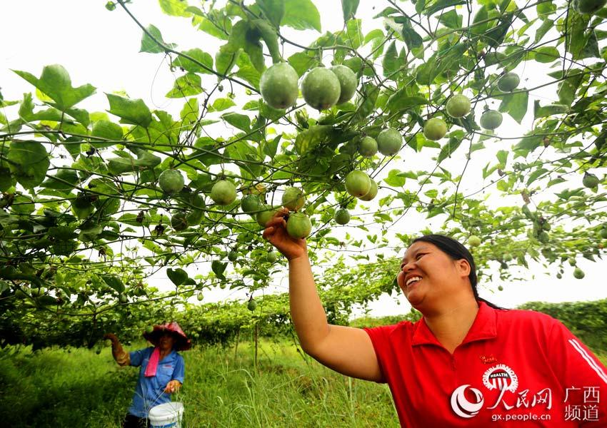 在广西平南县上渡街道下石村黄金百香果种植基地,女党员方丽在帮助帮扶对象采果。