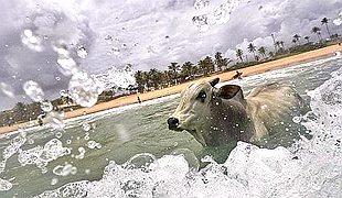 """泪目!巴西一公牛从集市上逃脱走进大海""""自杀"""""""