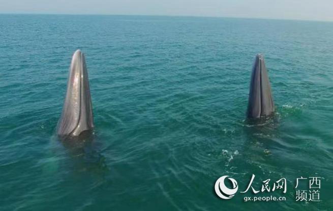 广西?#21544;?#23707;海域现鲸鱼