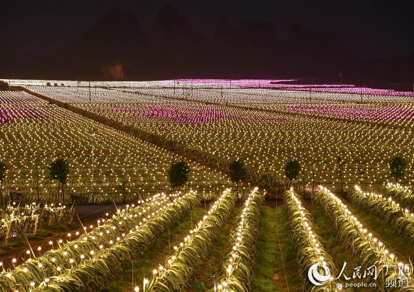 果园内的夜间催花补光产期调节技术