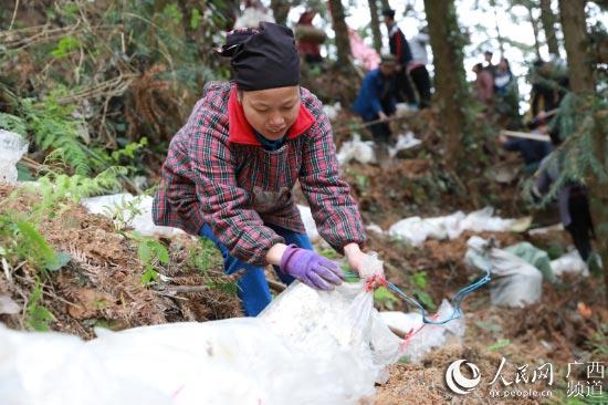 什么游戏最赚钱广西三江:林下灵芝产业助村级集体经济增收