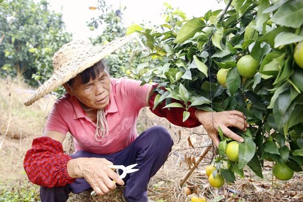 村民在采摘冰糖橙。陈洁儀摄