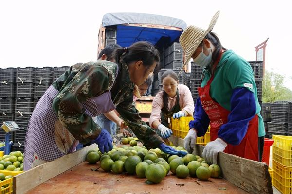 村民在分拣冰糖橙。邹庆林摄
