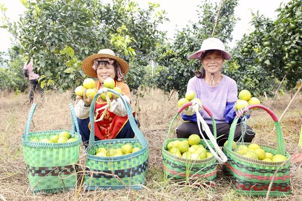 村民展示冰糖橙。邹庆林摄