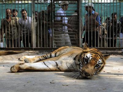 印度动物园老虎