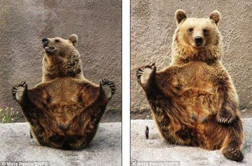 棕熊的动作可爱,引人发笑