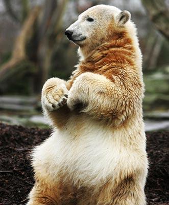 德国柏林动物园明星北极熊猝死