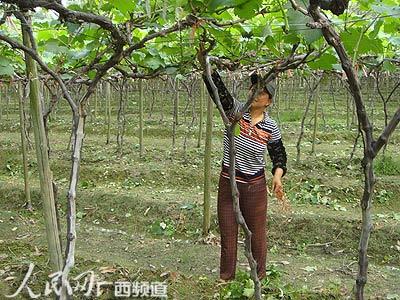 果树嫁接技术图解 - 图片搜索